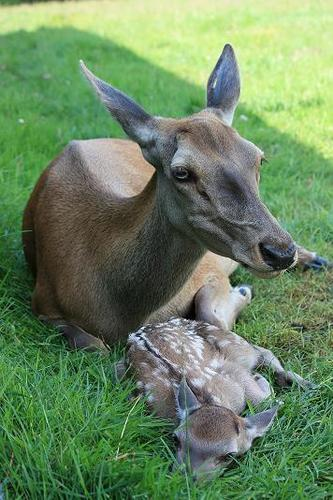 Bambi_2009